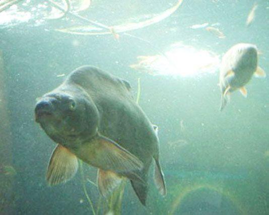 Платика плава под вода