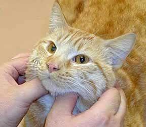 Лимфаденит, лимфаденопатия, и подути лимфни възли в котки.