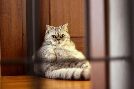 наднорменото тегло котки