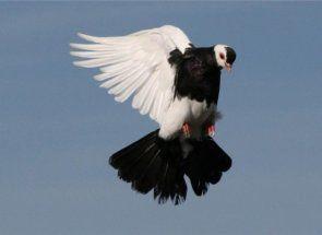 Admirand zborul - totul despre zborul de porumbei joc