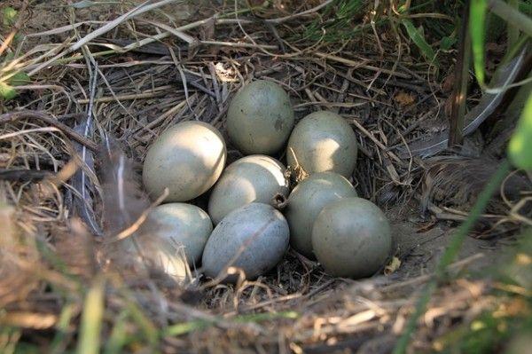 fazan gnijezdo s jajima