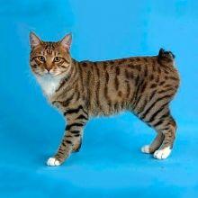Manx (Manx tailless pisică)