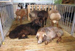 Incintele pentru ovine cu coadă de grăsime