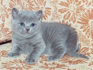 Малтийски котка