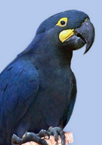 Lear Macaw, sau Leary, anodorhynchus leari