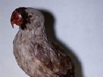 Mascarene Parrot (mascarinus mascarinus)