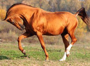 Farba kone - najdôležitejšie dedičný rys