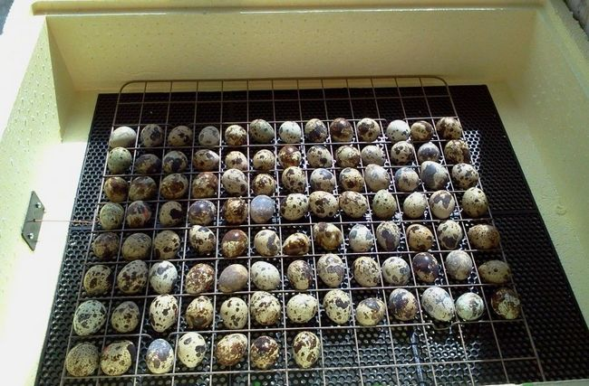 Ouă de prepeliță în incubator