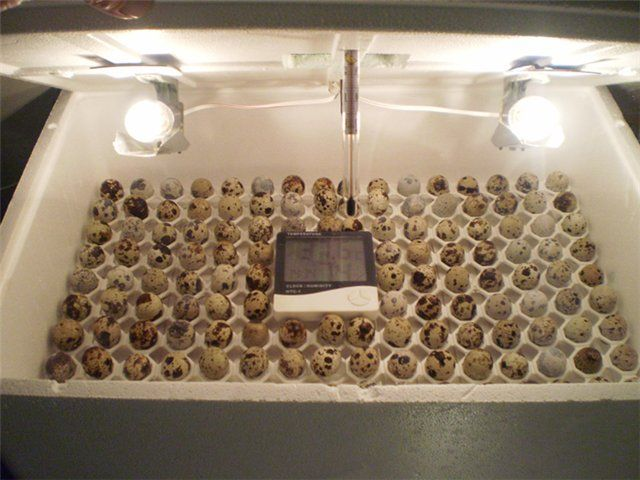 oua de prepelita incubator de casă