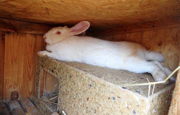 Lichior pentru iepuri - se fac ei înșiși