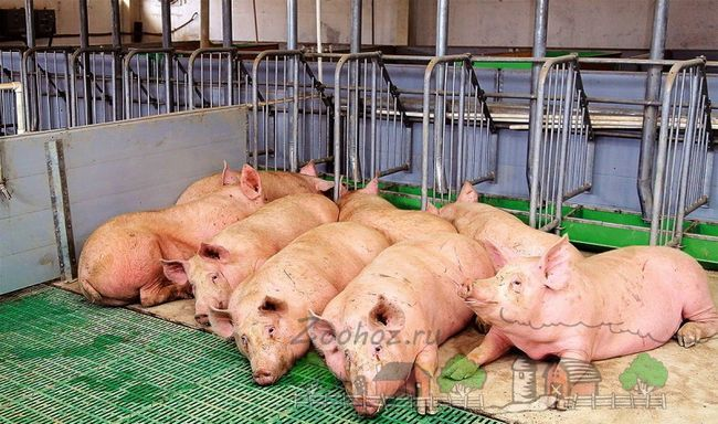 Porcii se odihnească într-o cutie comună