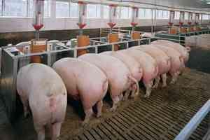 Plan de afaceri pentru creșterea porcilor. Deschide ferma mica.