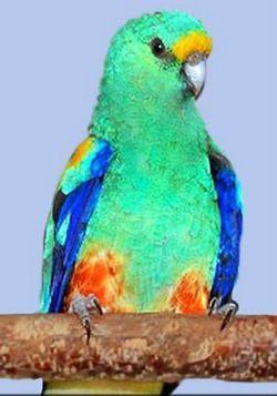 Multi-color sau Varius popugaychikpsephotus pestriț