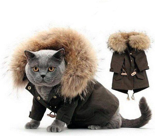 Britská mačka v saku