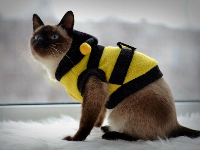 Siamské mačka v obleku včiel