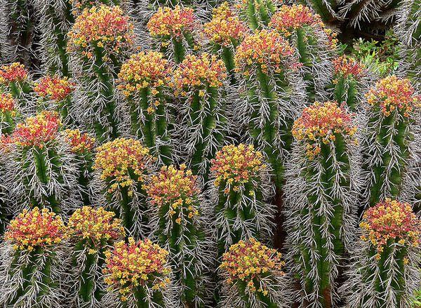 Euphorbia teribil (Euphorbia horrida), plante fotografie cactus fotografie Image