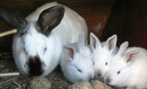 Pot hrăni iepurii, cartofi crude, fierte și coji de cartofi?