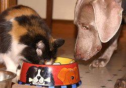 Da li je moguće dati mačke hrana za pse?