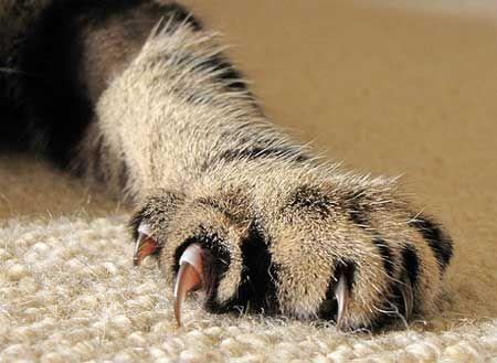 Възможно ли е да се премахнат котки ноктите?