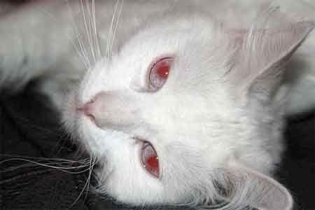 Albinism la pisici