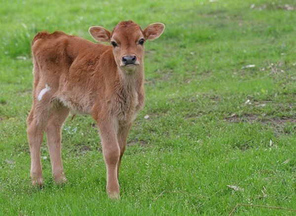 Redhead pilić na travi