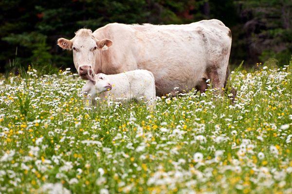 Bela krava i tele u polju
