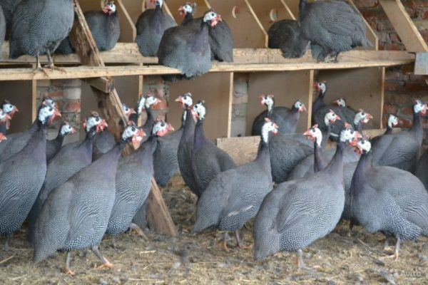 Ne samo ptica, već rezultat genetske selekcije - brojlera biserki