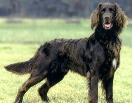 Njemački dugodlaka Pointer pas