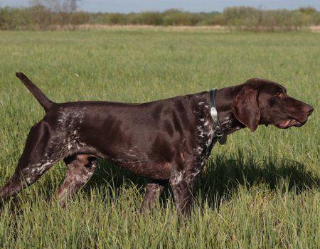Njemački lovačkih pasa