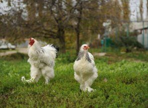Fancy pilića sa brkovima: Faverolles Chicken rasa