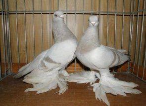 Păsări neobișnuite: totul despre porumbei uzbeci