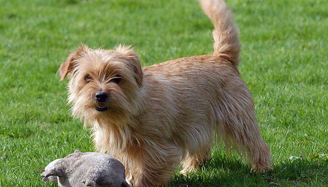 Norfolk Terrier - un vânător neobosit și neînfricat și pază