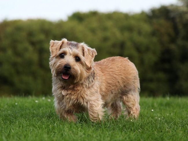 Pasa Norfolk terijer na travi