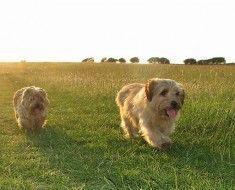 Dva psa Norfolk terijer