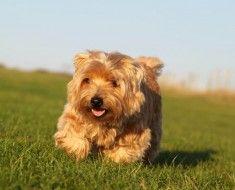 Norfolk terijer pas vrsta