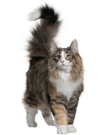 Норвежката горска котка