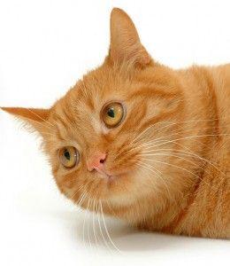 Нос котка