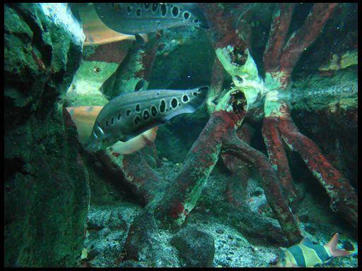 riba-nož akvarijum