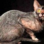 Новата порода котки