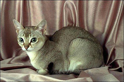 Singapore, Singapore mačka. Fotografie, Photo Image