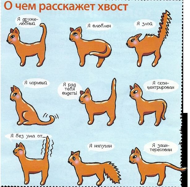 Защо опашката на котката