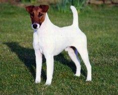 White Dog sa smeđim njuške