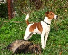Fox terijer-u lov