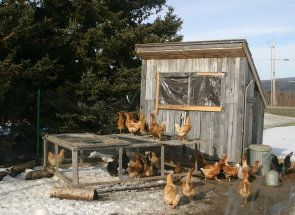Pružamo stambeni desetak pilića - izgraditi kokošinjac