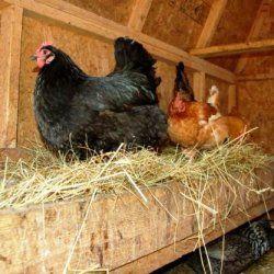Cuibul pentru găini din cutie