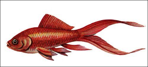 Comet златна рибка, риба фигура картина