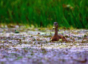 Pregled Drakes: važnost muške patke u prirodi