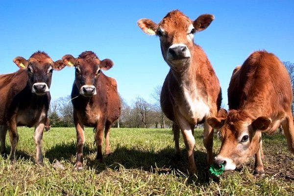 Mladi junica Jersey goveda