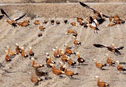 Червени патици хранят поле