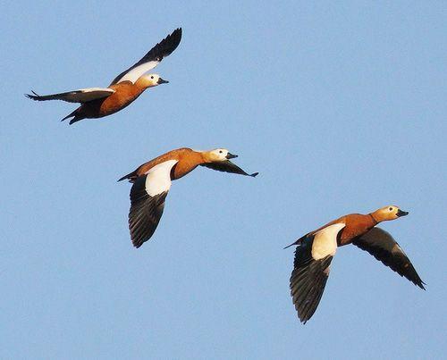 Червени патици летят